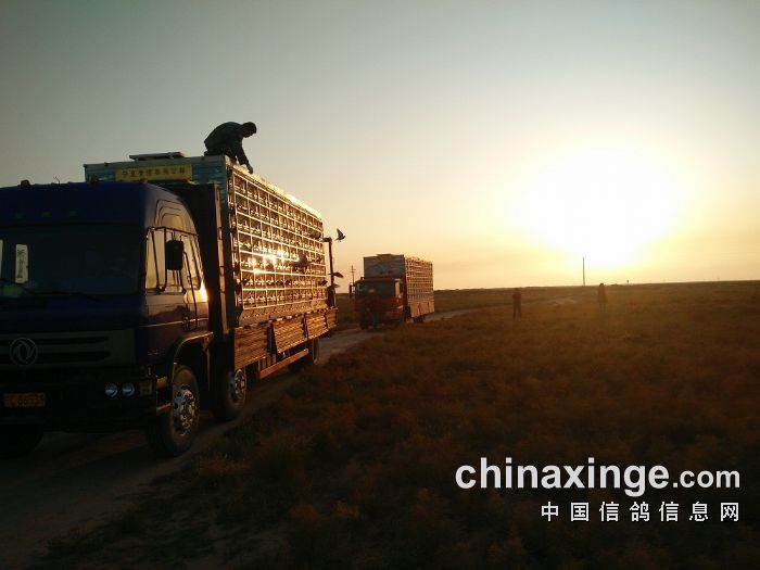 宁夏黄河赛鸽公棚9月22日30公里训放(照片)